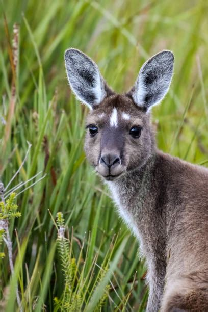 Kangaroo Stock Photos Pictures Royalty Free Kangaroo
