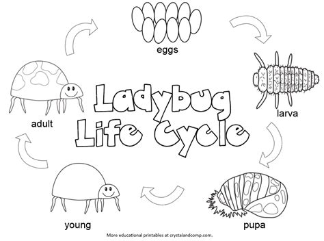 Kid Color Pages Ladybug Life Cycle Crystal and Co