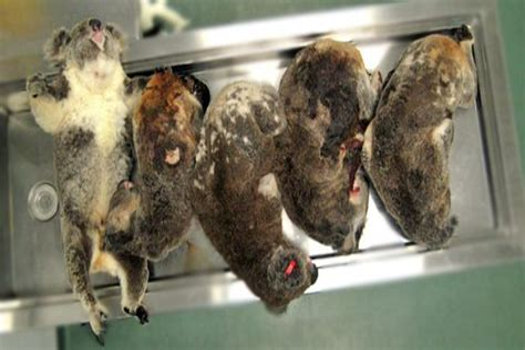 Koala Crunch Time Four Corners abc au