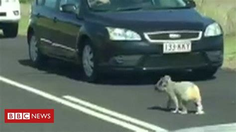 Koala gets police escort after stopping traffic BBC News