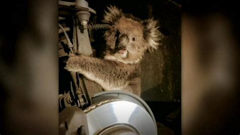 Koala rescued from car s wheel well abc13