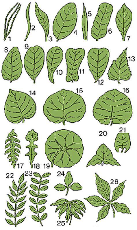 Leaf Definition of Leaf by Merriam Webster