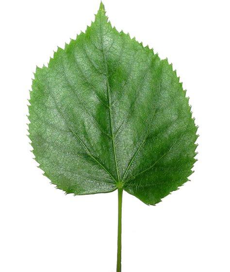 Leaf Wikipedia