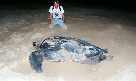 Leatherback Turtle Sea Turtles Species WWF