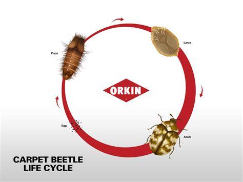 Life Cycle of Carpet Beetles Orkin
