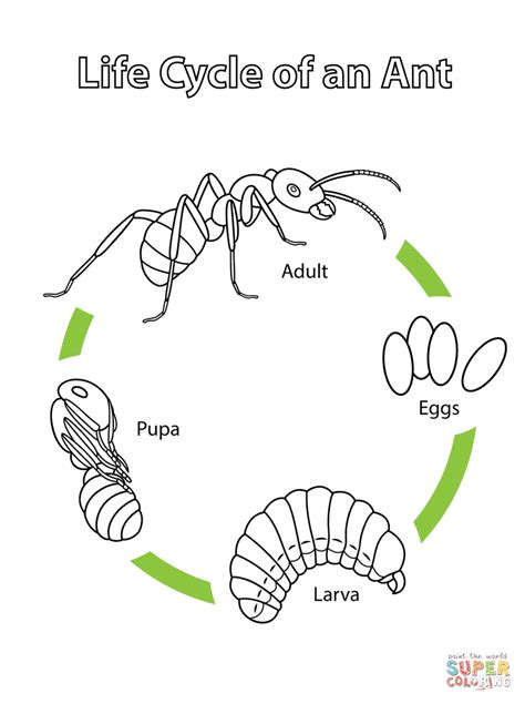 Life Cycle of an Ant coloring page Free Printable
