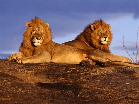 Lion Pictures African Cat Wallpapers National Geographic