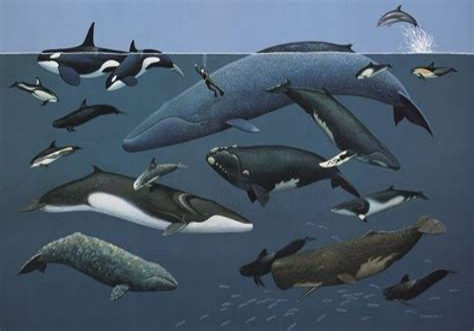 List of cetacean species Wikipedia