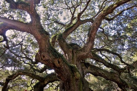 Live Oak Tree Facts
