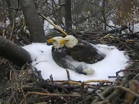 Live Washington DC Bald Eagle Cam