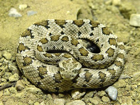 Living With Rattlesnakes California Herps