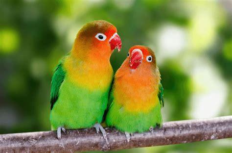 Lovebirds Parrot Parrot