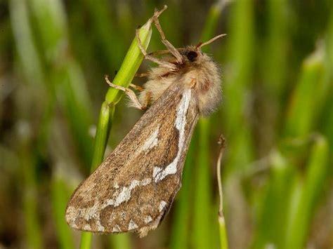Macro Moths Page 4 bugsandweeds