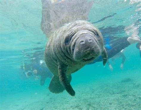 Manatees National Geographic