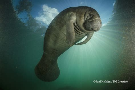 Manatees Photo Gallery National Geographic