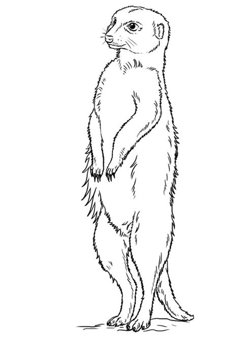 Meerkats Coloring Page Animal Fact Guide