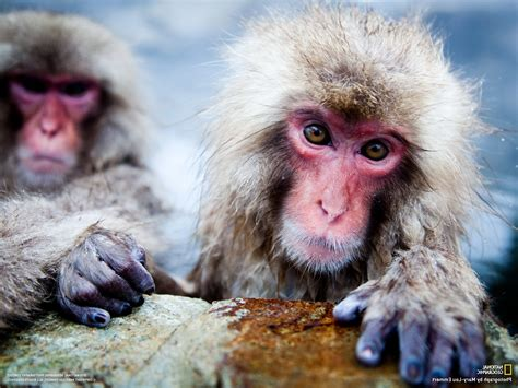 Monkey Pictures Primate Wallpapers National Geographic