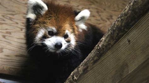 Move over Fiona Cincinnati Zoo welcomes baby red panda