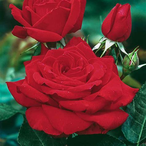 Mr Lincoln Hybrid Tea Rose 3 Plants Buy Rose Plants Online