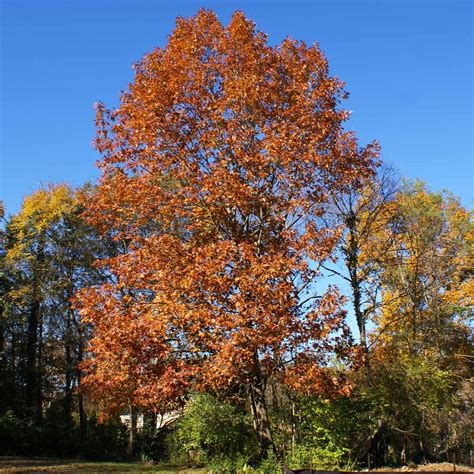 Northern Red Oak Tree for Sale Fast Growing Trees