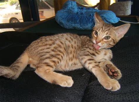 Ocicat Domestic Ocelot Cat Breeds And Types Of Cats