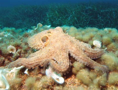 Octopus Wikipedia