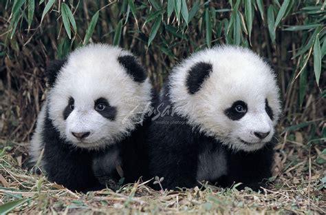 Panda Chinese Giant Bear Cub zoo cam baby endangered
