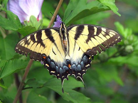 Papilio glaucus Wikipedia