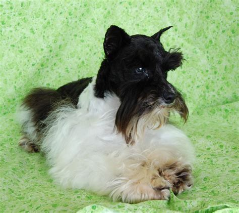 Paradise Valley Schnauzers Miniature Toy Teacup