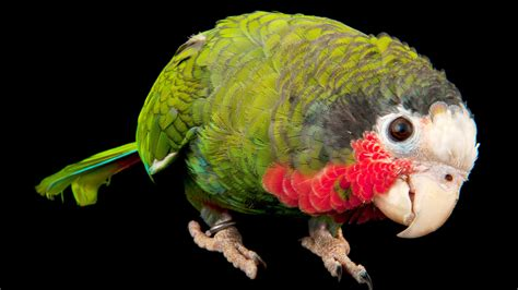 Parrots Are a Lot More Than Pretty Bird The New York Times