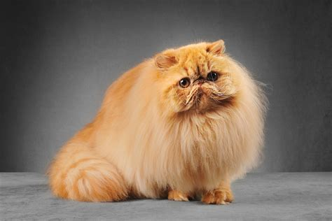 Persian Cat Breed Cat Pictures Information