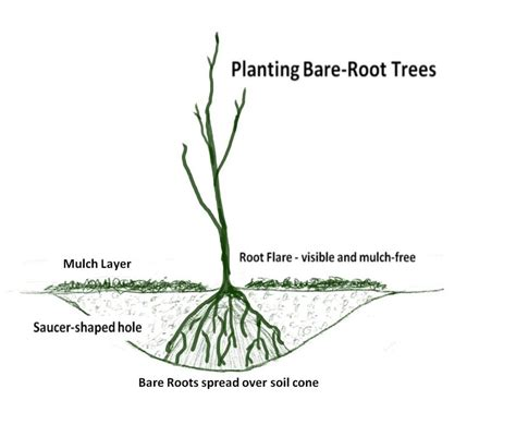 Plant a Bare Root Tree wikiHow How to do anything