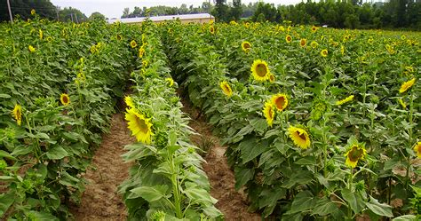 Planting sunflowers and preparing the Dove Field