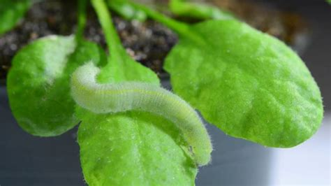 Plants can hear themselves being eaten and become