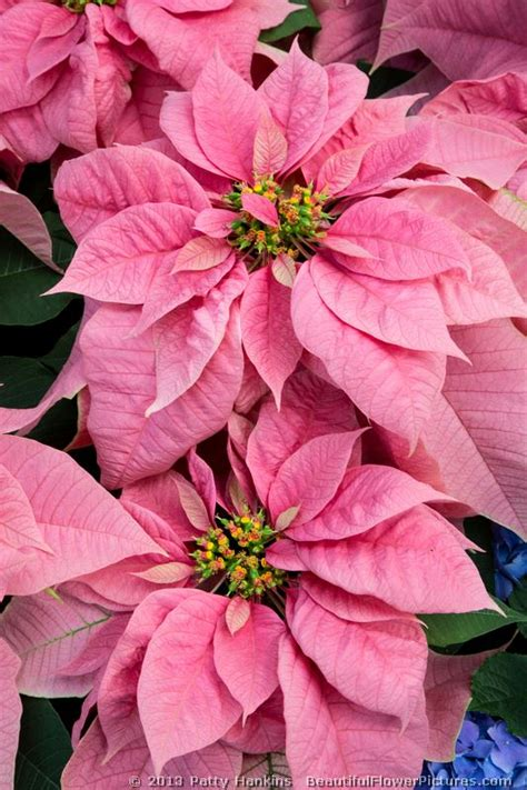 Poinsettia Images Photos Pictures