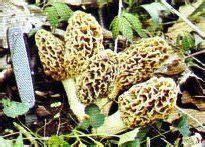 Preserving Morels Other Mushrooms Bayou Bill