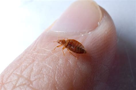 Prevention and control of bed bugs in residences Insects