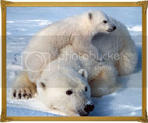 Printable Pictures Polar Bears images on Photobucket