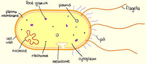 Prokaryotic Cell Structure Diagram