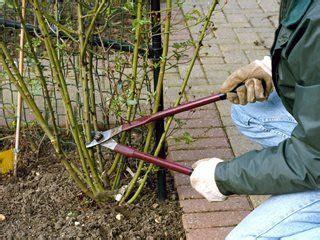 Pruning Roses Rose Gardening Made Easy
