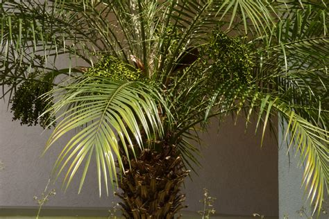 Pygmy Palm Growing Care For A Pygmy Date Palm Tree