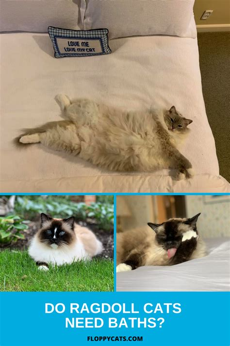 Ragdoll Cat Grooming Recommendations Needed Floppycats
