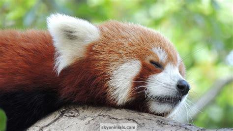 Red Panda HD desktop wallpaper Widescreen High