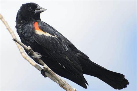 Red Winged Blackbird Agelaium phoeniceus The Spruce