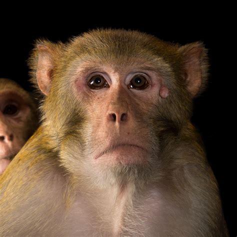 Rhesus Monkey National Geographic