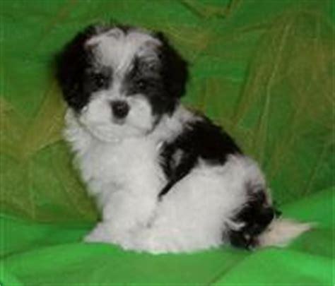 Risa Krantz Maltipoo Puppy Breeders Mal shi Puppies