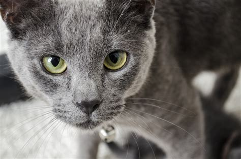 Russian blue definition of Russian blue by The Free