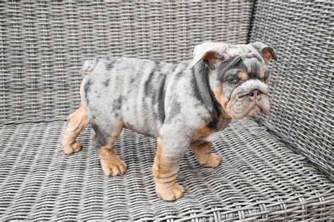 SHRINK A BULL Miniature English Bulldog Breeders