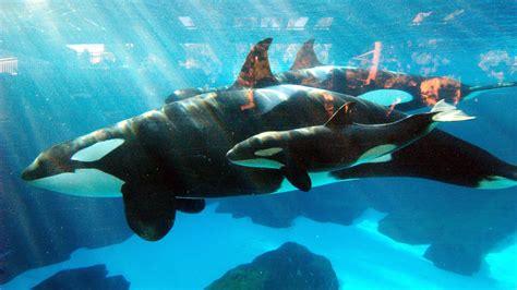 SeaWorld Euthanizes Kasatka Matriarch of Killer Whale
