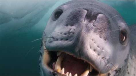 Seal Pictures Sea Lion Wallpapers National Geographic